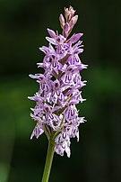 Dactylorhiza fuchsii Mariazell 01.JPG
