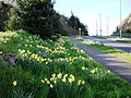 Daffodils, Dartmouth Road, Waterside - geograph.org.uk - 1225794.jpg