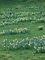 Daffodils - geograph.org.uk - 767767.jpg
