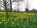 Daffodils at Bothwell Castle - geograph.org.uk - 760634.jpg