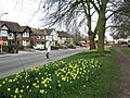 Daffodils beside Tilehurst Road - geograph.org.uk - 1801786.jpg