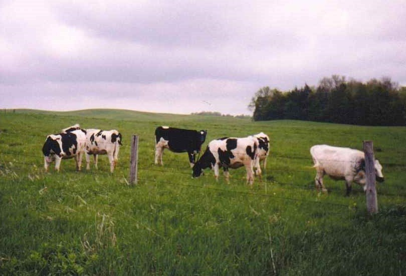 Dairy Cows, Collins Center, New York, 1999