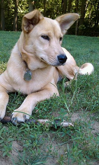 Carolina Dog - Image: Dakota, the Dixie Dingo (or Carolina Dog)
