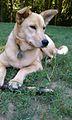 Dakota, the Dixie Dingo (or Carolina Dog).jpg