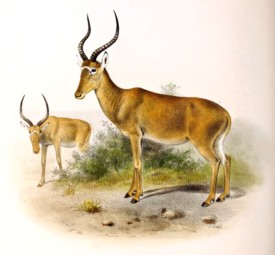 Damaliscus hunteri The book of antelopes (1894).png