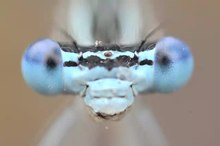 File:Damselfly grooming itself.webm
