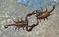 Dancing scorpions-66970ep.jpg