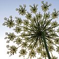 Daucus carota (Wilde Möhre) against the evening sky.jpg