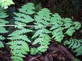 Deeply lobed fern with opposite fronds Dee Why.jpg