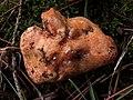 Deformacion por hongo Hypomyces lateritius en Lactarius deliciosus (8148545343).jpg