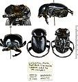 Deltochilum (Deltohyboma) gigante Silva & Vaz-de-Mello, 2014 - 5628005621.jpg