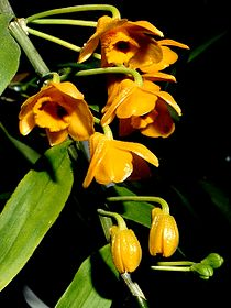 Dendrobium chrysanthum Orchi 11.jpg