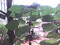Dendrocnide moroides.JPG