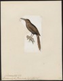 Dendrocolaptes temminckii - 1820-1860 - Print - Iconographia Zoologica - Special Collections University of Amsterdam - UBA01 IZ19200227.tif