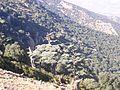 Des arbres du Cèdre d'Atlas de Boulemane Maroc.jpg