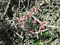 Desert Christmas Cactus Fruit Sahuarita Arizona 2014.jpg