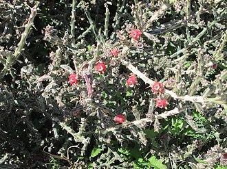 Cylindropuntia leptocaulis - Image: Desert Christmas Cactus Fruit Sahuarita Arizona 2014