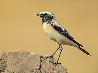 Desert wheatear species of bird
