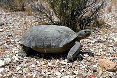 Desert tortoise at the Nevada Test Site.jpg