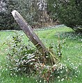 Diagonal gravestone and snowdrops - geograph.org.uk - 345257.jpg