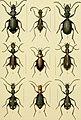 Die Gliedertheir-fauna des Sansibar-gebietes - nach dem von dr. O. Kersten w©Þhrend der v. d. Decken'schen Ost-Afrikanischen expedition im Jahre 1862 gesammelten material (1873) (20916495702).jpg