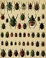 Die exotischen Käfer in Wort und Bild (1908) (20920832161).jpg