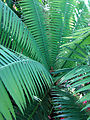 Dioon spinulosum, the Giant Dioon (11332804436).jpg