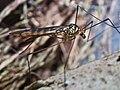 Diptera en Bastavales Brion Galiza Spain 2.jpg