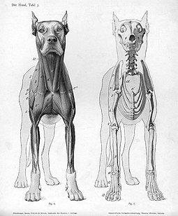 Animal anatomical engraving from Handbuch der Anatomie der Tiere fur Kunstler. Dog anatomy anterior view.jpg
