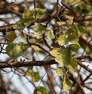 Dolichandrone falcata leaves in Hyderabad W IMG 7434.jpg