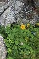 Dolichorrhiza caucasica 49990393.jpg