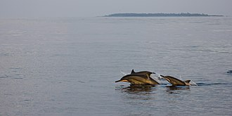 Ari Atoll - Spinner dolphins in the area