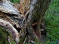 Downy Birch, Priory Park - geograph.org.uk - 1291971.jpg