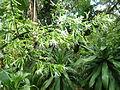 Dracaena aletriformis, bloeiwyse, b, Springbokpark.jpg