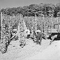 Druivenplukkers aan het werk, Bestanddeelnr 254-4150.jpg