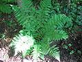 Dryopteris triploidea cultivated.JPG