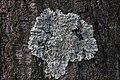 Duisburg 08.05.2017 Common Greenshield Lichen - Flavoparmelia caperata (34690945441).jpg