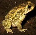 Duttaphrynus stomaticus.png