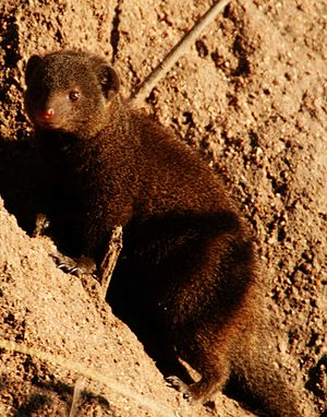 Common dwarf mongoose - Dwarf mongoose from the Sabi Sands region of South Africa.