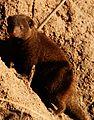 Dwarf mongoose1.jpg
