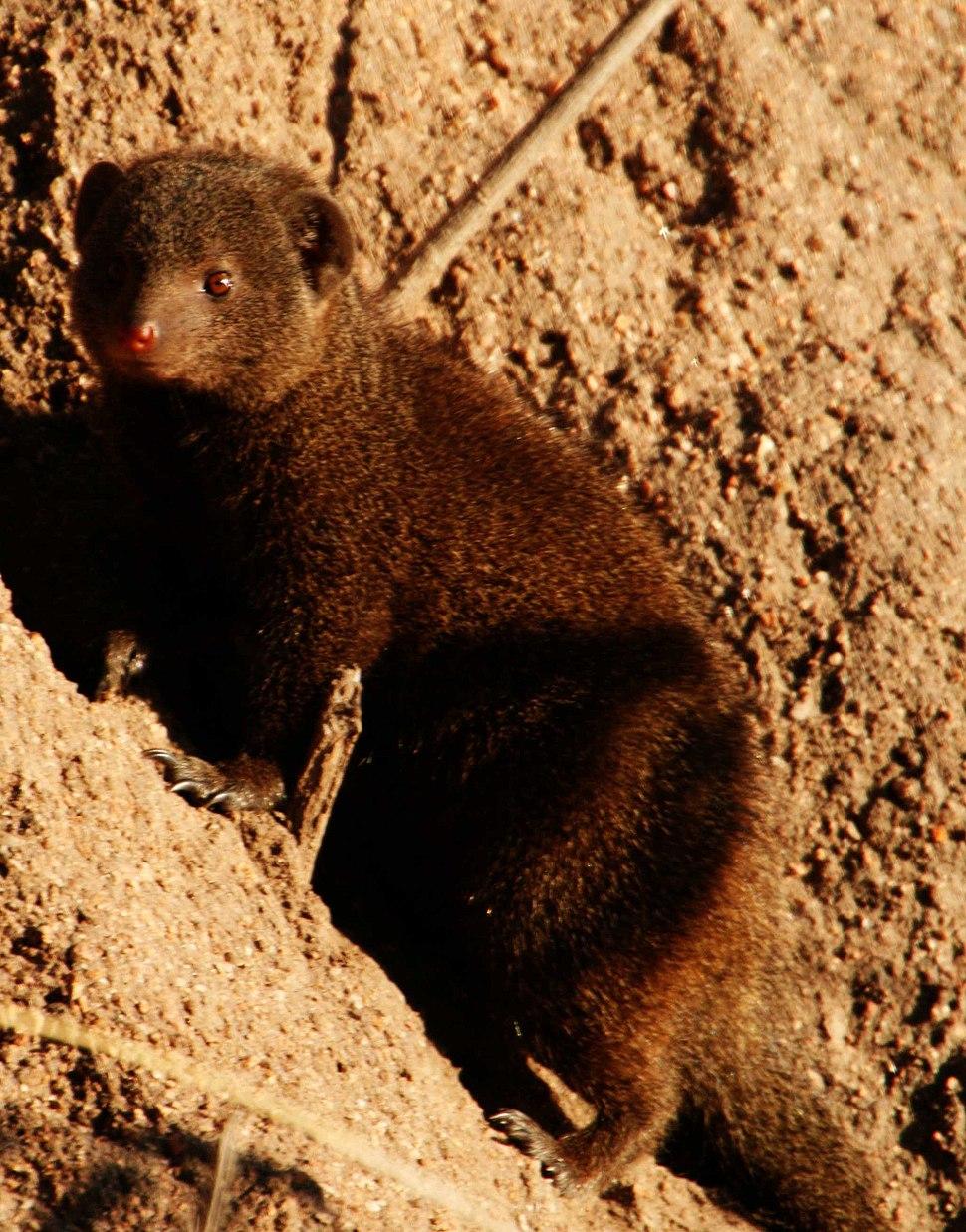 Dwarf mongoose1