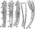 EB1911 Scaphopoda - Dentalium vulgare.jpg