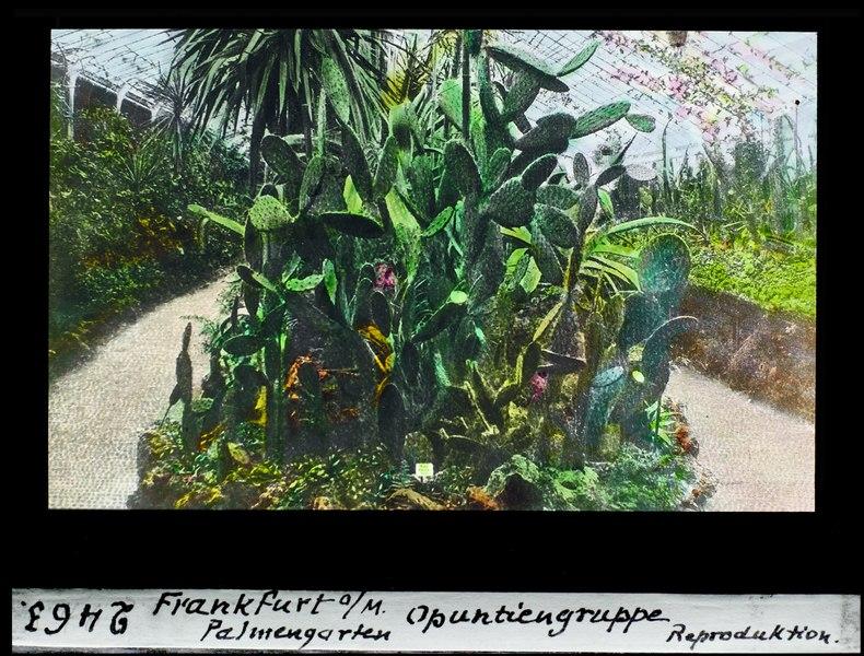File:ETH-BIB-Opuntiengruppe, Palmengarten, Frankfurt am Main-Dia 247-02463.tif