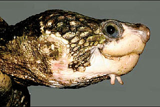 <i>Elseya albagula</i> species of reptile