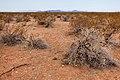 East of the Black Range - Flickr - aspidoscelis (10).jpg