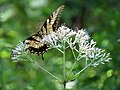 Eastern Tiger Swallowtail (28981370846).jpg