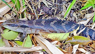 Eastern blue tongued lizard.jpg