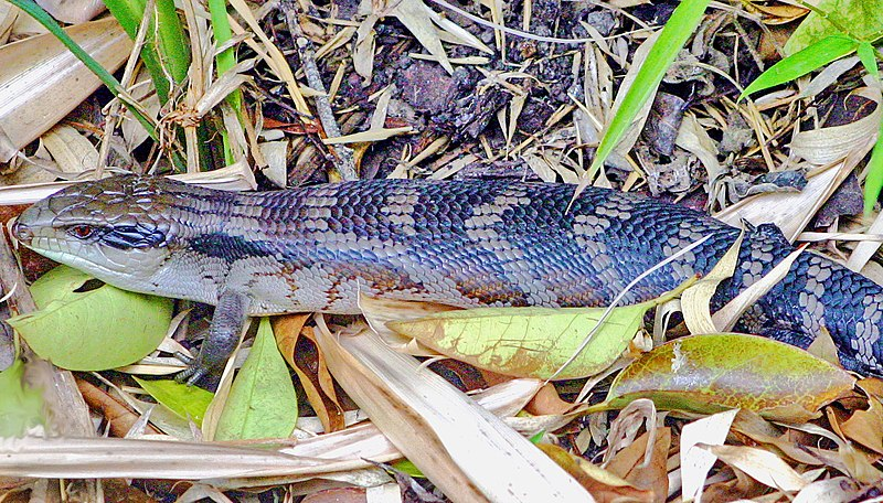 http://upload.wikimedia.org/wikipedia/commons/thumb/6/64/Eastern_blue_tongued_lizard.jpg/800px-Eastern_blue_tongued_lizard.jpg