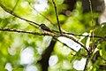 Eastern wood-pewee (43209758900).jpg