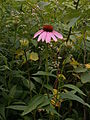 Echinacea purpurea, 2015-07-07, Kane Woods, 03.jpg